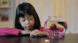 A cute little 5 year old Asian girl feeds her pretty red Betta fish.