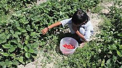 A cute little seven year old Asian girl picks fresh strawberries in the summer!