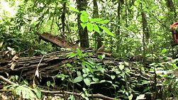 A left to right pan shot of an old auspicious sacred tree in the jungles of western Thailand.