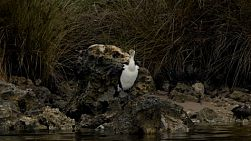 An australian cormorant or darter bird perched on rocks on the banks of the moore river in western australia. shot from a canoe on the river.