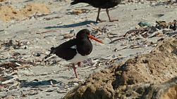 An Australian Pied Oystercatcher  bird scavenging on a sandy beach.