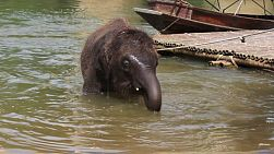 An adorable baby elephant enjoys cooling off in a nearby river in Kanchanaburi, Thailand.