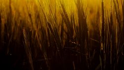 Crop of barley in a paddock backlit by the golden light of the setting sun.
