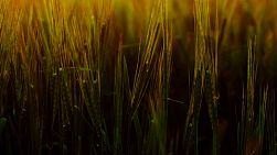 Crop of barley in a field backlit by the light of the setting sun.
