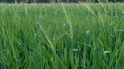 Heads of barley in a green crop, on a farm in Western Australia.