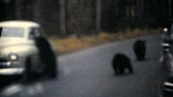 A bunch of cute bear cubs being fed out car windows near Banff, Alberta in the Canadian Rockies in 1958.