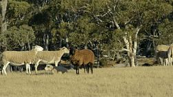 A black sheep amongst a flock of white sheep on an australian farm.