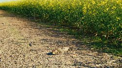 A bobtail (shingleback lizard, or tiliqua rugosa) resting in the warm sunlight by a crop of canola on an Australian farm.