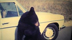 A cute brown bear cub tries to eat out of a car window in a game park in Caracas, Venezuela in 1979.