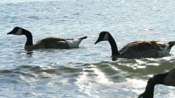 A group of Canada Geese swimming on the ocean feeding on seaweed and fish in the summer.