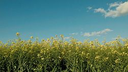 A canola crop set against clear blue skies, with a few clouds.