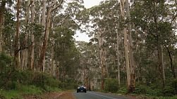 A car driving past jarrah trees in the Boranup Forest in South Western Australia.