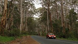 A car driving through the middle of jarrah trees in the Boranup Forest in South Western Australia.