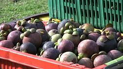 A tilt up shot of a container filled with ripe mangosteen fruit on its way to market in Chantaburi, Thailand.