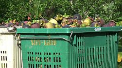 A zoom out shot of containers full or ripe mangosteen on its way to market in Chantaburi, Thailand.
