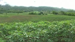 A right to left pan of a beautiful, lush green cassava field in Western Thailand.