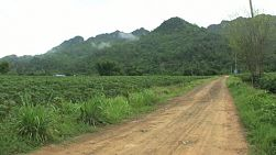A right to left pan of a lush green cassava field in Western Thailand.
