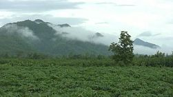 A cassava field in the lush part of Western Thailand.