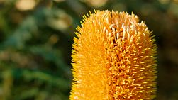Close up of a golden Banksia flower in the King's Park Botanical Garden, Perth, Western Australia.