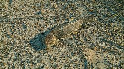 A bobtail (shingleback lizard, or tiliqua rugosa) resting in the sun.