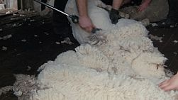 A shearer shearing a merino sheep on an Australia farm, framing the shorn wool as the focus of the shot.