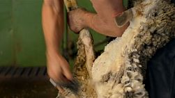 Shearer shearing a merino sheep in the shearing shed on an Australian farm.