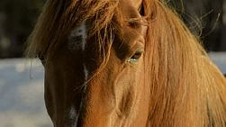 Close-up of the eyes of a horse looking around. the horse is lit be the early morning sunlight on an australian farm.