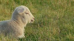 Closeup of a cute young lamb, lying in grass in a field, basking in the evening sunlight.