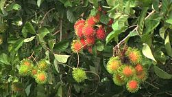 A cluster of ripe Rambutan hangs on the tree in an orchard in Chantaburi, Thailand.