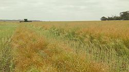 A header coming towards the camera from afar while swathing a crop of canola on an Australian farm.