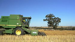 An australian farmer harvesting a canola crop, that has been swathed into windrows ready for harvest, driving by the camera.
