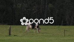 A cow grazing behind a fence in a grassy field on a farm.