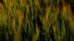 Crop of barley in a paddock backlit by the light of the setting sun.