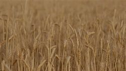 Heads of a wheat crop on an farm.