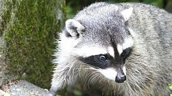 A curious cute racoon comes out of the forest to check out his surroundings.