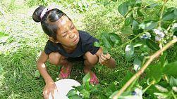 A cute little Asian girl enjoys picking blueberries during the summer.