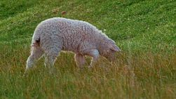 A cute white lamb grazing in a grassy field on an Australian farm.