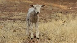 A cute lamb on an Australian farm looking at the camera and looking around.