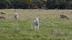 A cute white lamb standing amongst a flock of sheep in a grassy paddock on an Australian farm.
