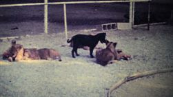 Cute lion cubs chew on a delicious bone while a puppy looks on in a game park in Caracas, Venezuela in 1979.