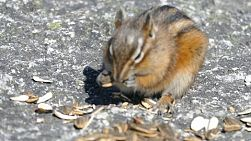 A group of adorable Chipmunks enjoy eating some sunflower seeds given by a young girl.