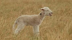Young newborn lamb looking around and bleating, in a dry grassy field.
