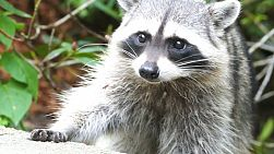 A cute racoon looks for some food scraps on the outskirts of the forest.