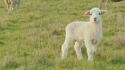 A cute white lamb standing in a grassy paddock on an Australian farm.