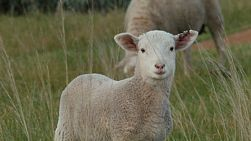 A cute white lamb standing in a grassy paddock staring at the camera on an Australian farm.