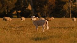 A cute baby lamb standing in a field, with the rest of it's flock in the background, basking in the golden light of sunset.
