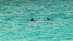 A pod of dolphins swimming by, in the clear ocean near Esperance, Western Australia.
