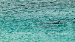 A pod of dolphins swimming in the ocean near Esperance, Western Australia.