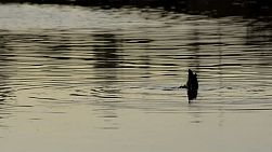 A duck diving on a river, with ripples circling around it.