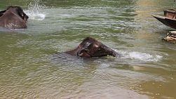 A cute little baby elephant baths in a river with his mom in Kanchanaburi, Thailand.